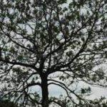 Een exotische Perzische slaapboom
